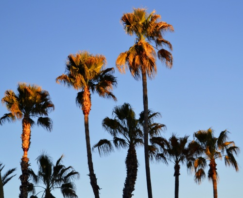 Palm trees at sundown