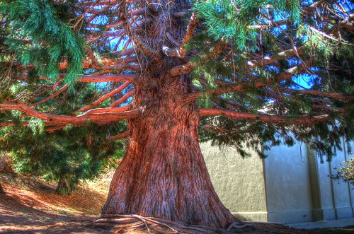 HDR photo of a cedar tree on Palomar Mountain, California